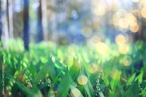 Fototapeta lilies of the valley in the spring forest, landscape in the April park, many lilies of the valley in the meadow obraz