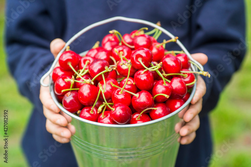 A boy is holding metal bucket with freshly picked cherries. A child is holding a bucket with juicy ripe cherries