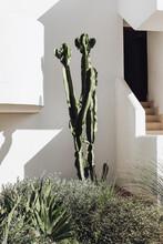 Succulent Euphorbia Trigona Growing In The Garden. White House Doorstep In The Background. Mediterranean Architecture. Mallorca, Ballearis Islands, Spain, Europe.