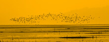 Migratory Birds Fly Over The Water In The Wetlands At Sunset. Poyang Lake, Jiangxi Province, China.