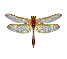 Dragonfly From A Splash Of Watercolor, Colored Drawing, Realistic. Vector Illustration Of Paints
