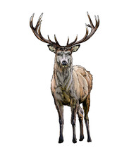 Red Deer From A Splash Of Watercolor, Colored Drawing, Realistic. Vector Illustration Of Paints