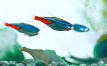 Neon Fishe School In Aquarium