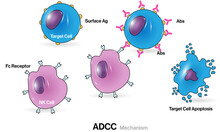 Illustration Of Antibody Dependent Cell Mediated Cytotoxicity Or ADCC.