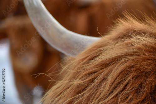 Highland cattle art Fototapeta