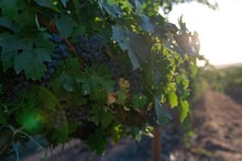 Ripe Blue Grapes Growing In Vineyard At Sunset Time, Selective Focus. Vineyards Grape At Sunset In Autumn Harvest. Winemaking Concept. Beautiful Grapes Ready For Harvest. Golden Evening Light.