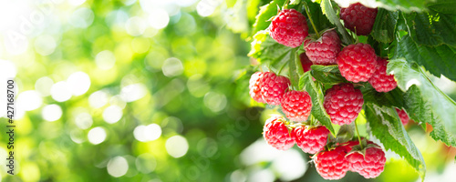 branch of ripe raspberries in a garden on green background