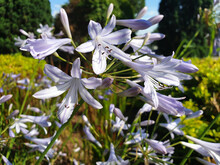 Blue And White Flowers Agapanthus Praecox Or Agapanthus Africanus Bloom In The Flower Bed.
