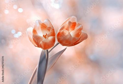 Fototapeta Tulips obraz