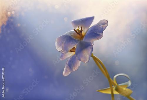 Fototapeta Tulipan na niebieskim tle w promieniach światła obraz
