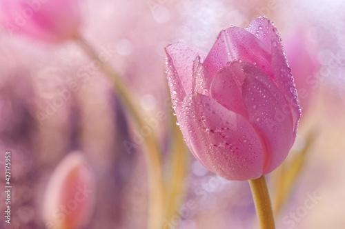 Obraz Tulipan Tulip - fototapety do salonu