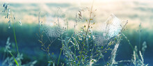 Beautiful Cobwebs In Grass. Morning Nature Landscape, Shining Sunlight. Atmosphere Nature Image. Summer Season