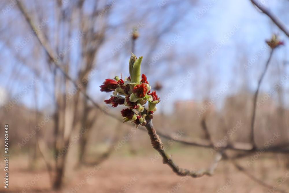Fototapeta młody pąk na gałęzi czerwone wiosenne pąki