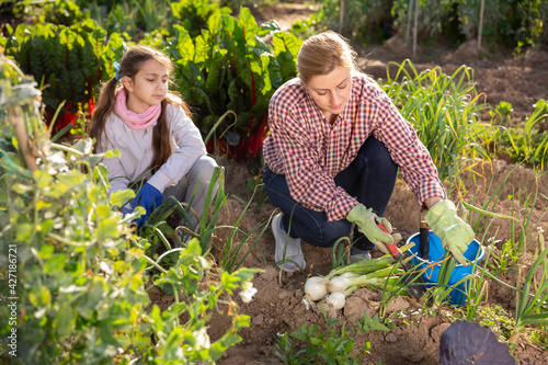 American woman gardener and little girl picking green onion at a garden on a warm spring day