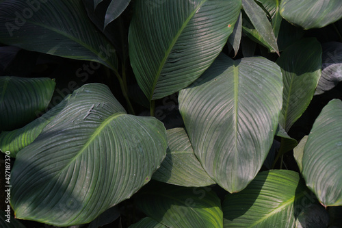 Fototapeta Green Peace lily leaves natural background and wallpaper.  Fragrant spathiphyllum. Spathiphyllum cannifolium (Dryand. ex Sims).  obraz
