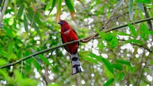 Red-headed Trogon, Harpactes Erythrocephalus, Thailand; Male Individual Curiously Looking Around While Perched On A Diagonal Bamboo Branch, Leaves All Around Creating A Lovely Bokeh Blown By The Wind.