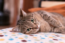 Mackerel Tabby Beige Cat With Green Eyes Relaxes On The Couch And Looking Away, Pets, Animals Theme, Domestic Cat