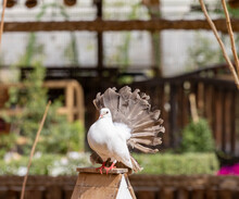 Exotic Indian Fantail Pigeon In Captive Aviary
