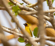 Masked Weaver Yellow Tropical Bird In Eastern Province Of Saudi Arabia