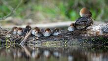 Female Mother Merganser And Her Babies