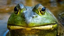Bullfrog In The Pond