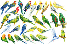 Big Set Of Tropical Birds, Bright Parrots On An Isolated White Background, Watercolor Drawing