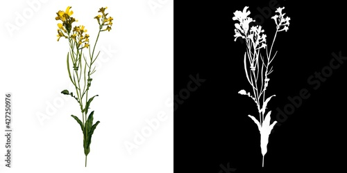 Cuadros en Lienzo Front view of Plant (Bermuda Buttercup Oxalis pes-caprae 1) Tree png with alpha