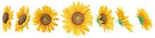 透明水彩で描いた向日葵の頭7種セット