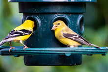 American Goldfinch Perched At Bird Feeder