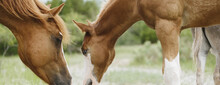 Foal Horse With Mare Grazing In Summer Landscape For Equine Banner.