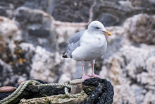 Herring Gull Standing On Coiled Rope On The Harbour Wall Against A Textured Background