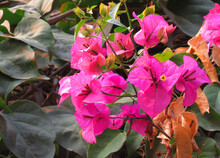 Bougainvillea Is A Genus Of Thorny Ornamental Vines, Bushes, And Trees Belonging To The Four O'clock Family, Nyctaginaceae. Pink Flowers In The Garden