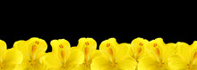 Yellow Hibiscus Flowers On A Black Background, Floral Border. Place For Text, Copy Space.