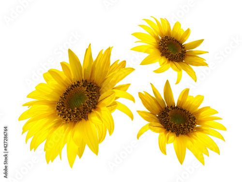 Fototapeta A few Yellow sunflowers isolated on white background obraz