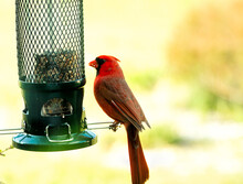 Large Northern Red Cardinal Being Cautious And Watchful By Birdfeeder.  In Some Images, He Is On Either Pole Or Feeder, And Some Waiting Patiently On The Bush.