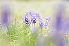 Grape Hyacinth Muscari Flowers. Blue Muscari Armeniacum Flowers On Spring Garden. Sunny Meadow. Spring Season.
