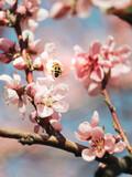 Fototapeta Kwiaty - kwiaty wiśni