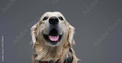 Fotografie, Tablou Headshot of a obedient funny dog in studio with gray background