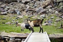 Springende Geiß, Ziege Auf Einer Brücke In Den Alpen