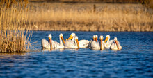 American White Pelicans Hunt As A Group In A Marshy Pond