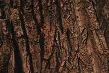 Tree Bark Texture Pattern, Old Maple Wood Trunk As Background