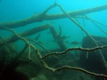 Sunken Forest And Sunken Trees In Zakrzowek - Artificial Lake In Cracow, Poland