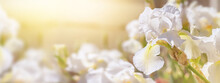 Closeup Of White Iris Flowers On Natural Background On A Sunny Day, Banner. Soft Selective Focus. Background With Space For Text