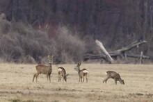 A Herd Of Roe Deer On A Wild Field In Poland