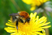 Queen Of A Common Carder Bumblebee (Bombus Pascuorum) On A Dandelion (Taraxacum Officinale)
