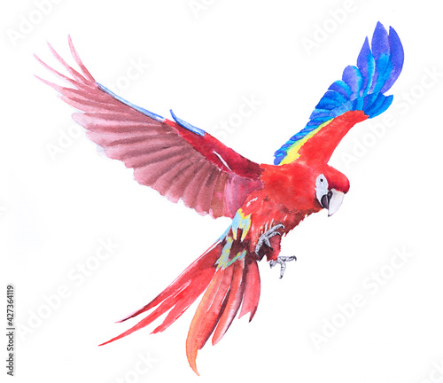 Fotografia Beautiful Bird parrot Macaw scarlet hand paint watercolor on paper with white ba