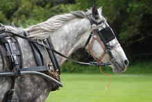 A Harnessed Horse Is Shown Outfitted With Blinders Or Blinkers Over Its Eyes.