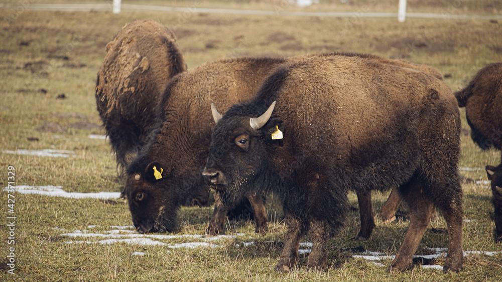 Fototapeta buffalo in the field