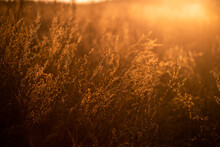 Low Angle Horizontal Stock Color Photography Of Beautiful Sunny Abstract Background Of Golden Color. Closeup View Of Blurred Wild Grass And Plants And Defocused Effect Of Sunny Foliage In Background