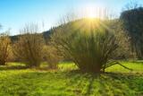 Fototapeta Kuchnia - Spring background with flowering hazelnut-tree against sunlight.